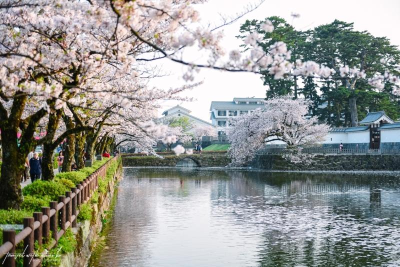 cherry-blossoms-odawara-9
