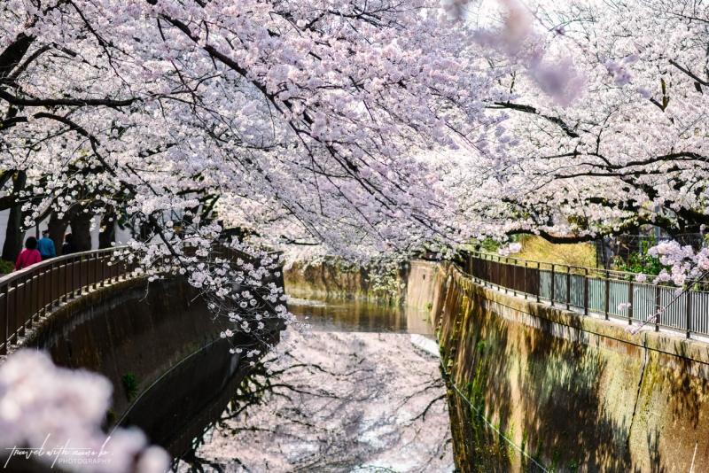 cherry-blossoms-tokyo-12