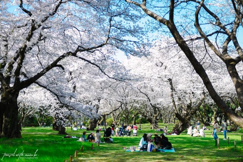 cherry-blossoms-tokyo-13