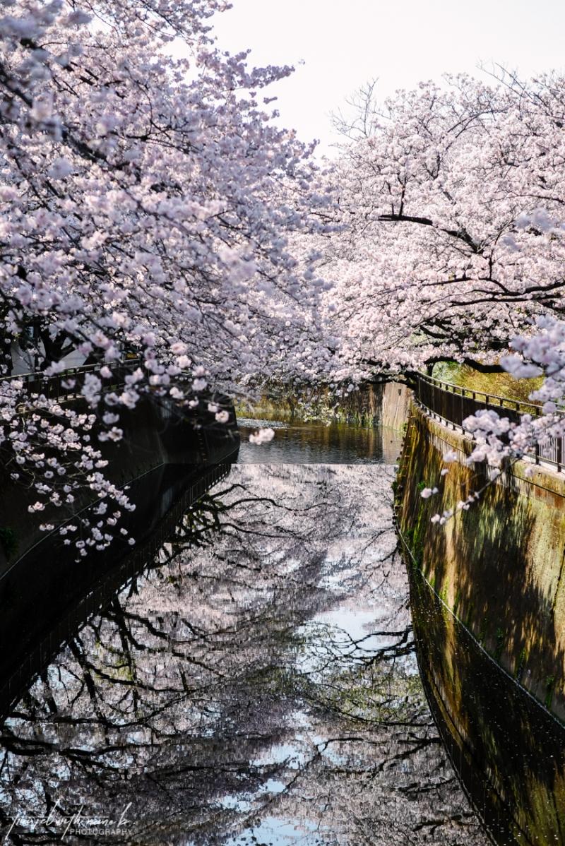 cherry-blossoms-tokyo-14