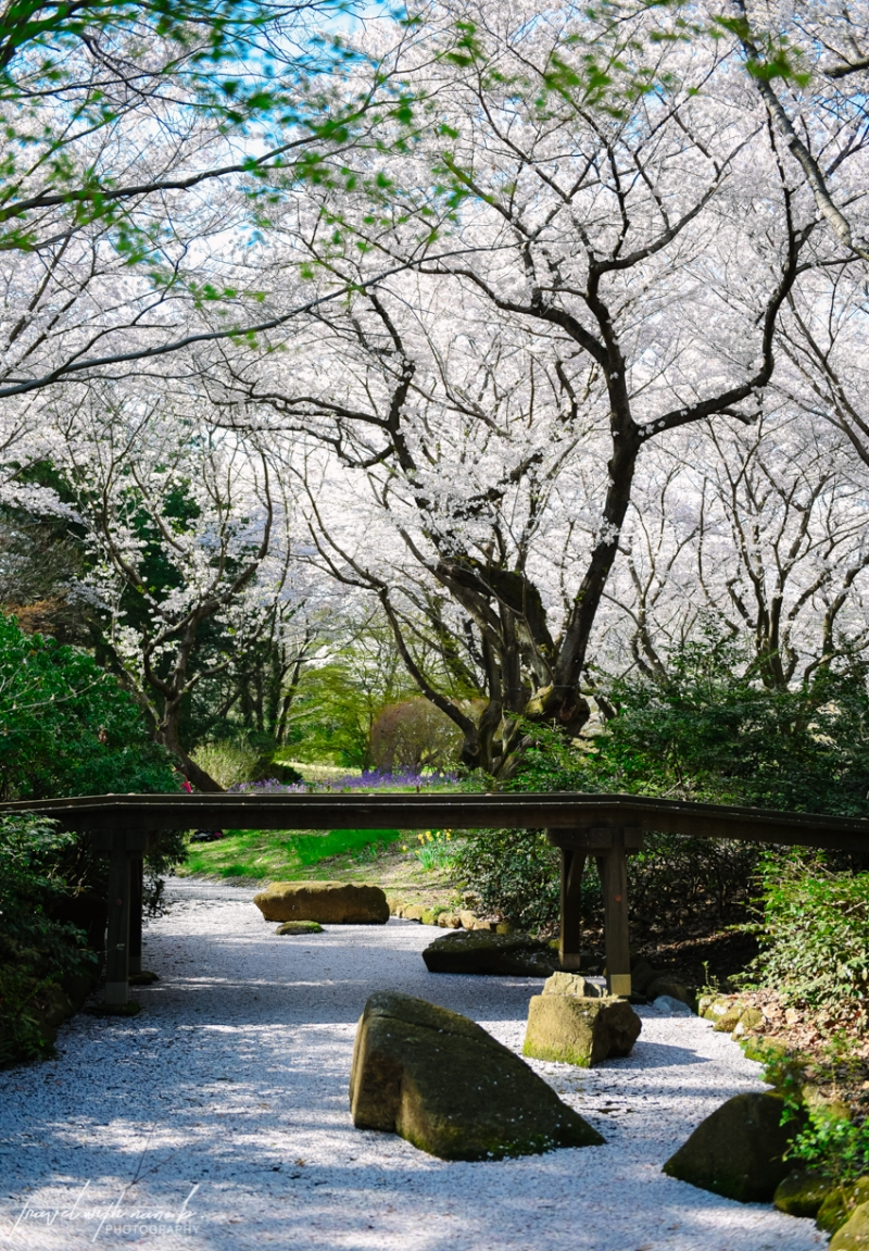 cherry-blossoms-tokyo-15