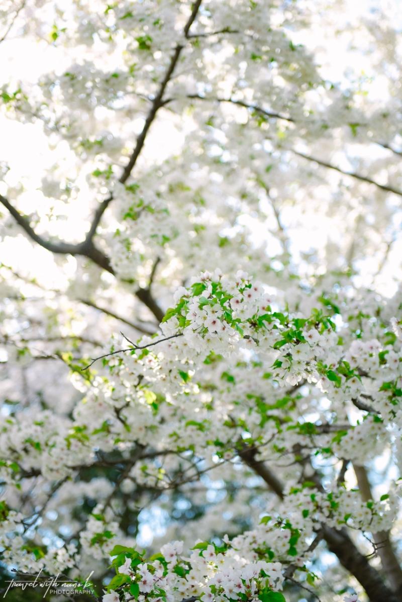 cherry-blossoms-tokyo-2
