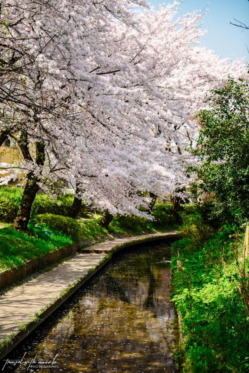 cherry-blossoms-tokyo-27