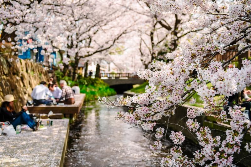 cherry-blossoms-tokyo-30