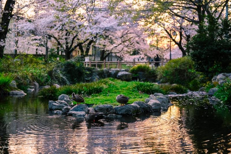 cherry-blossoms-tokyo-38