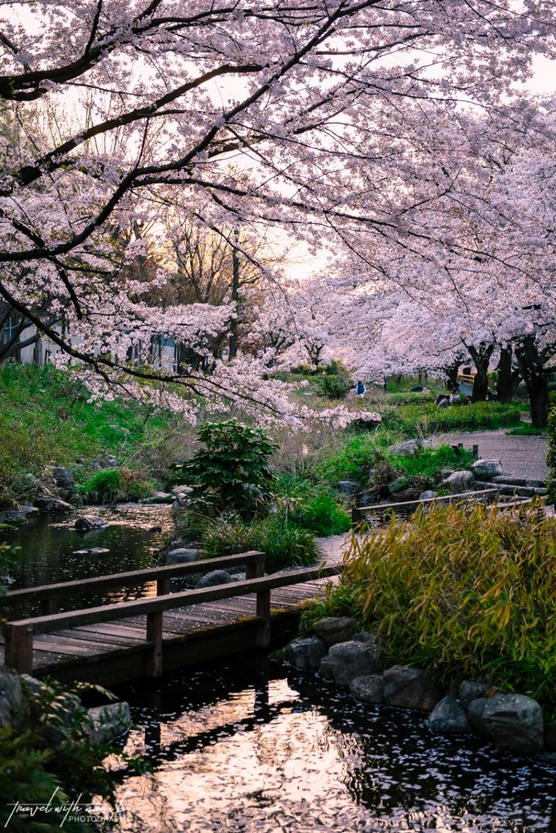cherry-blossoms-tokyo-40