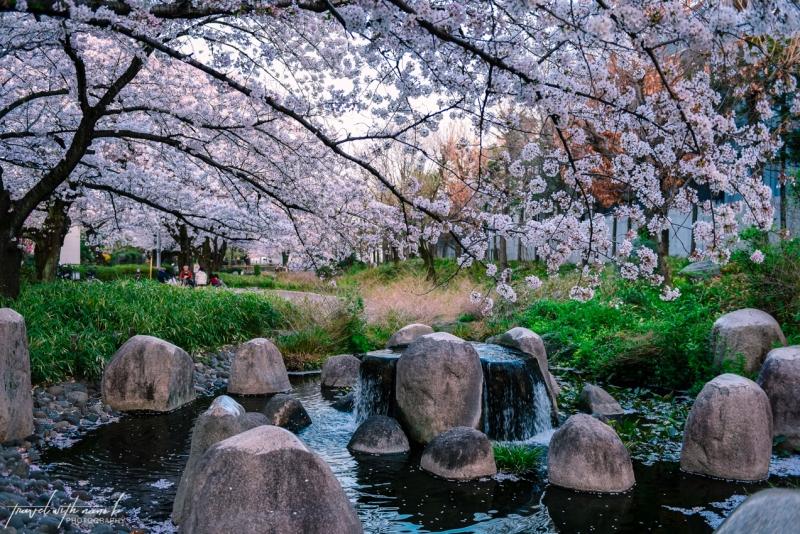 cherry-blossoms-tokyo-41