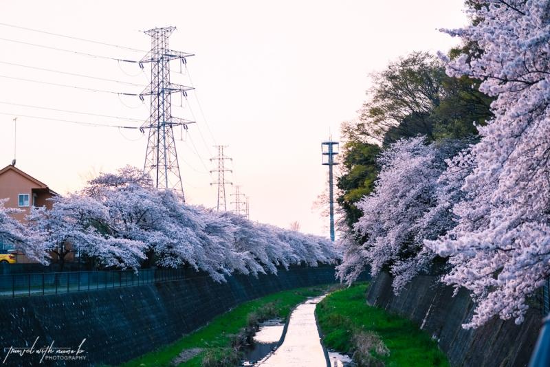 cherry-blossoms-tokyo-42