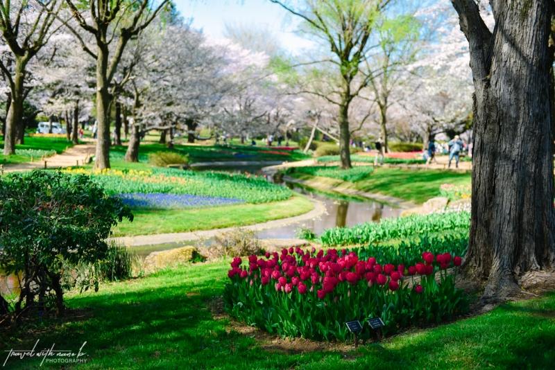 cherry-blossoms-tokyo-6