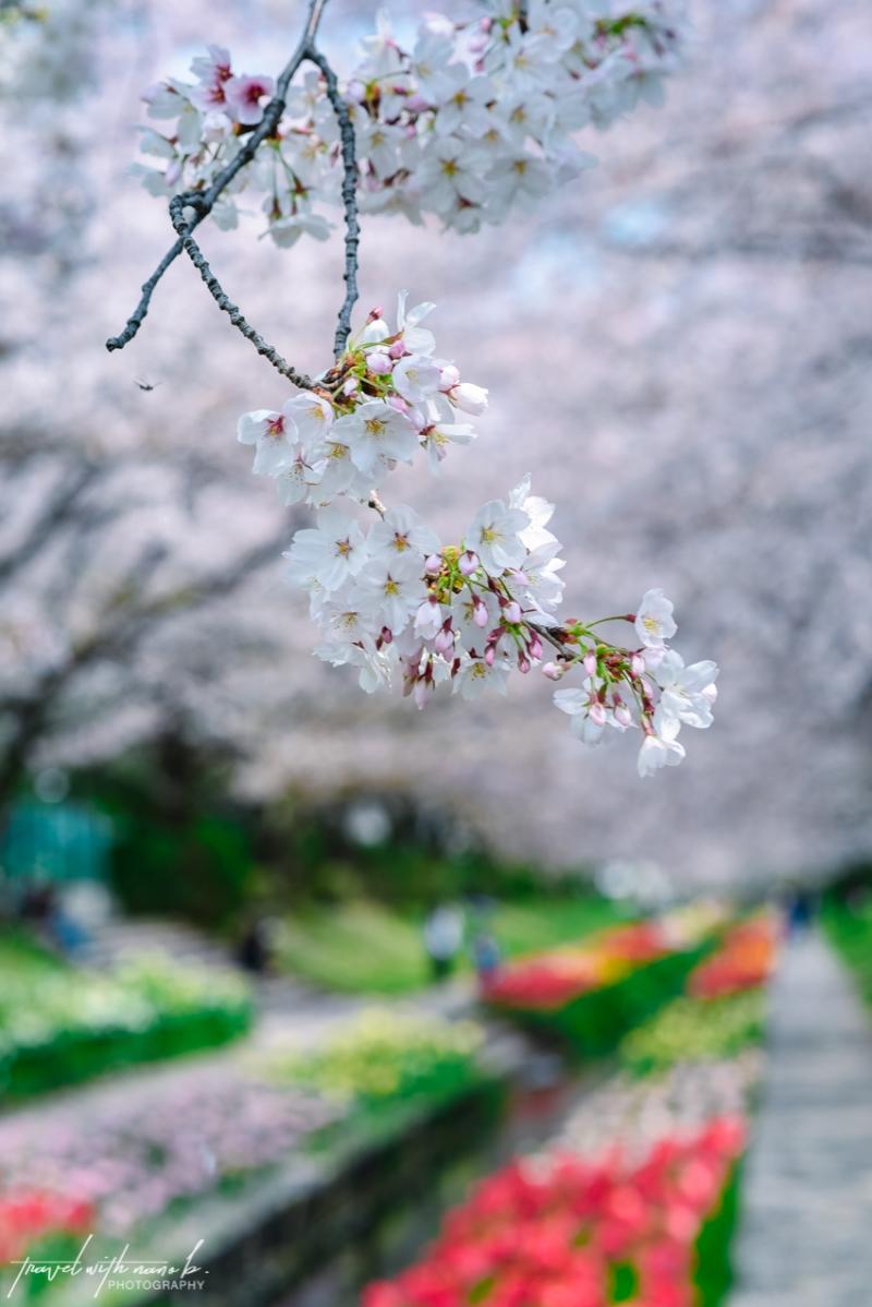cherry-blossoms-yokohama-13