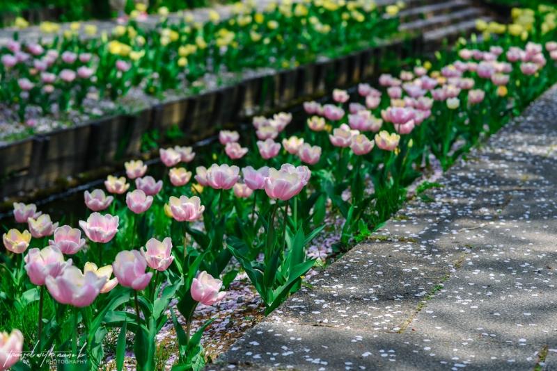 cherry-blossoms-yokohama-15