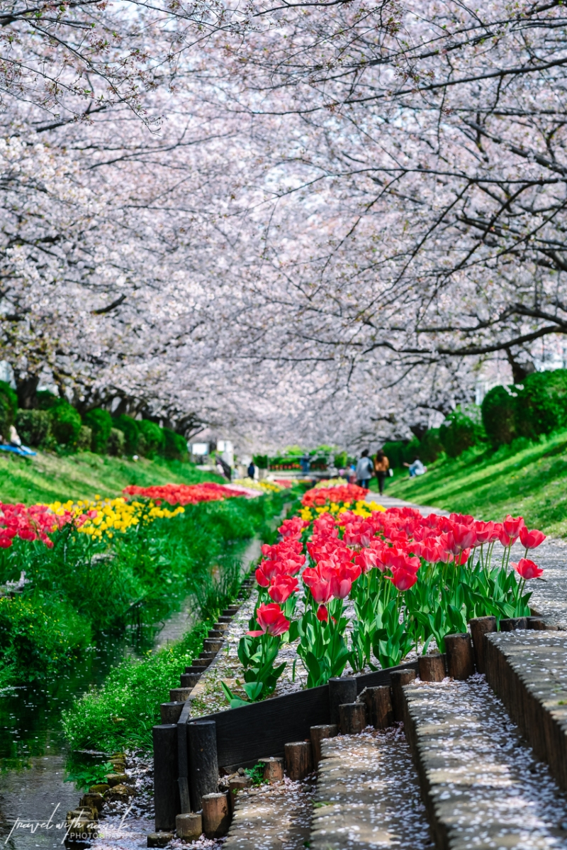 cherry-blossoms-yokohama-16