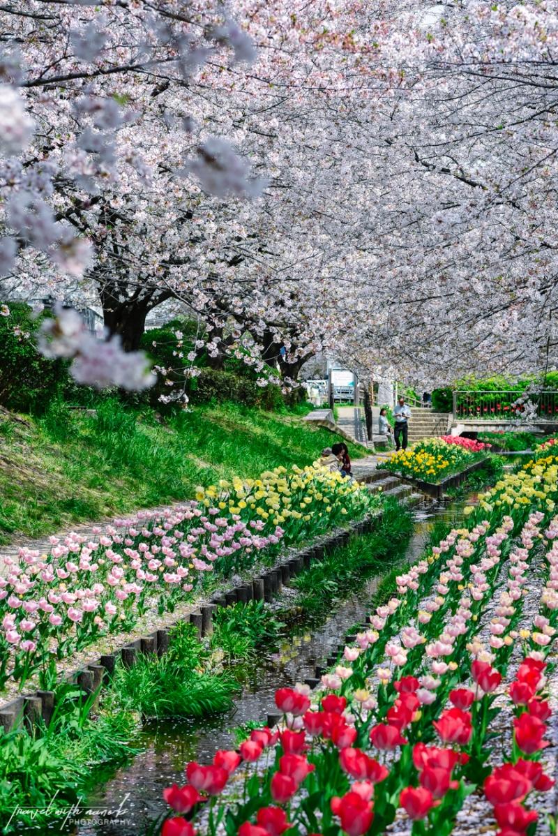 cherry-blossoms-yokohama-19