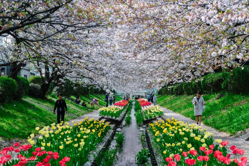 cherry-blossoms-yokohama-22