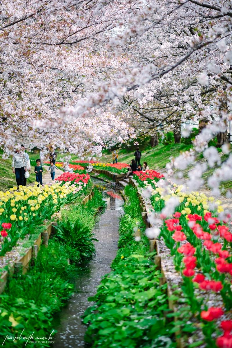 cherry-blossoms-yokohama-24