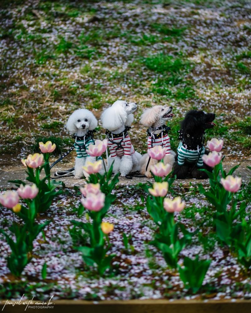 cherry-blossoms-yokohama-27