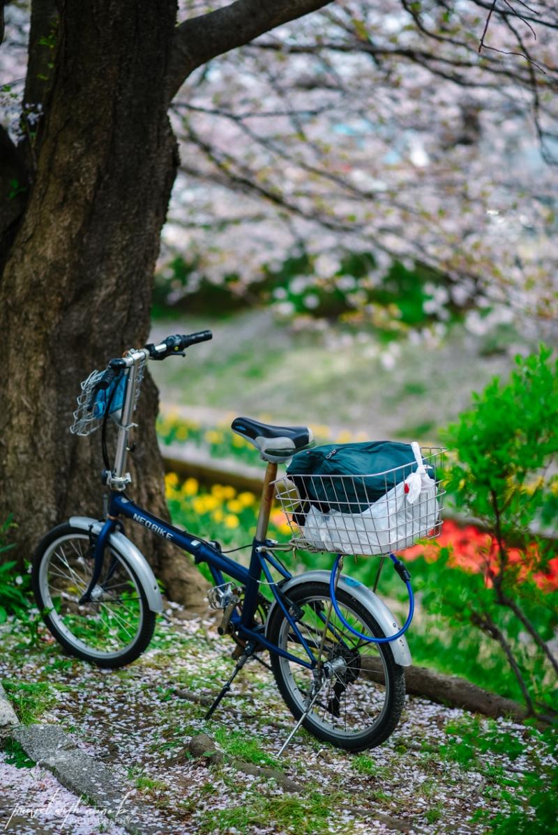 cherry-blossoms-yokohama-28