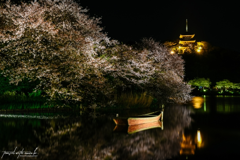 cherry-blossoms-yokohama-33